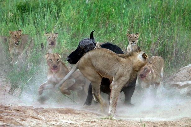 Aslanların en başarısız saldırıları 197