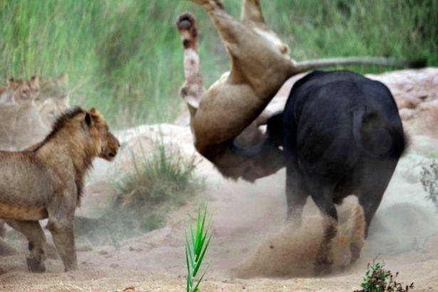 Aslanların en başarısız saldırıları 198