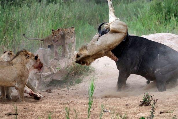 Aslanların en başarısız saldırıları 199