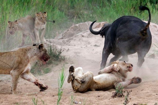 Aslanların en başarısız saldırıları 201