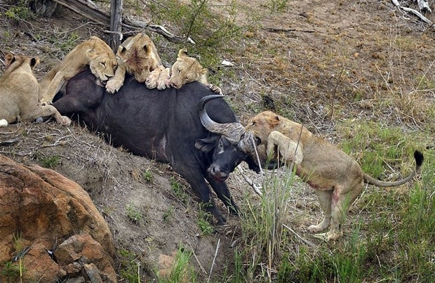 Aslanların en başarısız saldırıları 203