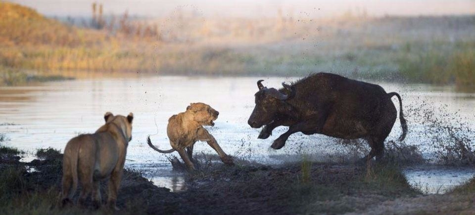 Aslanların en başarısız saldırıları 23