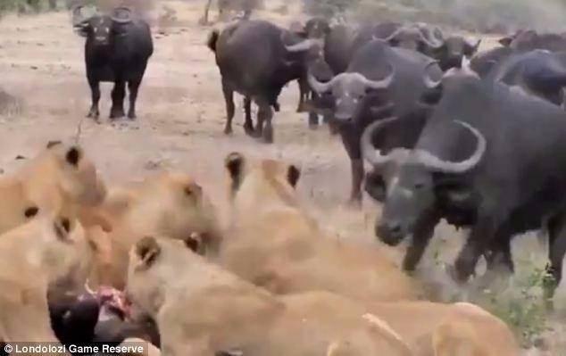 Aslanların en başarısız saldırıları 30