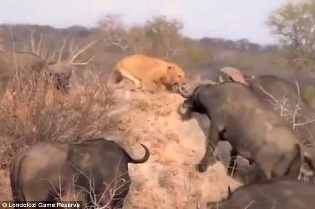 Aslanların en başarısız saldırıları 31