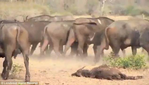 Aslanların en başarısız saldırıları 32