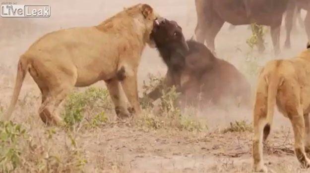 Aslanların en başarısız saldırıları 33
