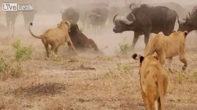 Aslanların en başarısız saldırıları 35