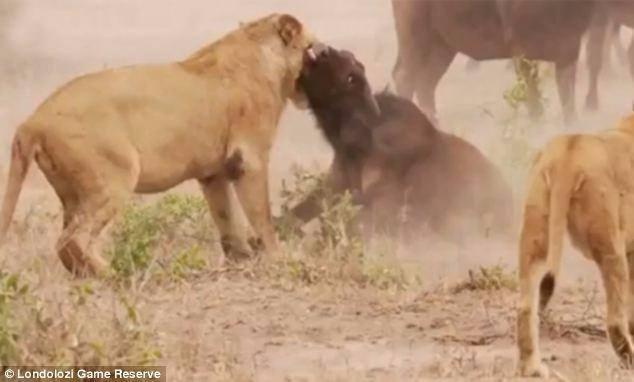Aslanların en başarısız saldırıları 36