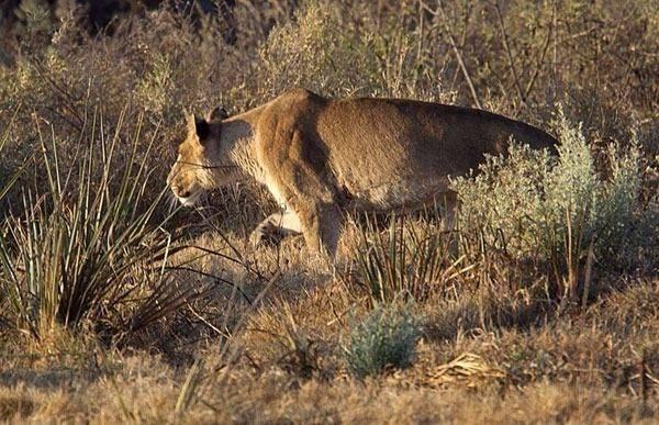 Aslanların en başarısız saldırıları 37