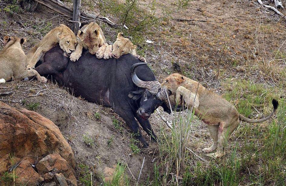 Aslanların en başarısız saldırıları 4