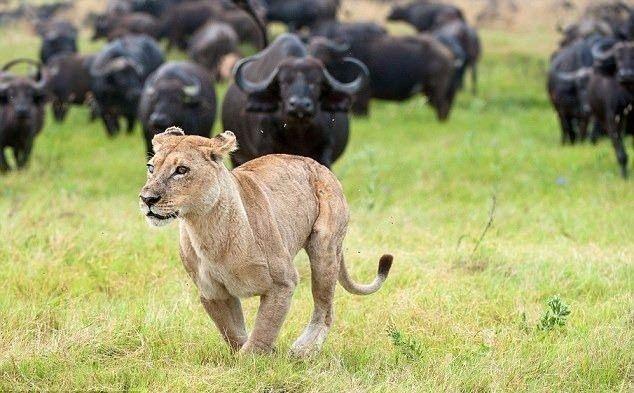 Aslanların en başarısız saldırıları 46
