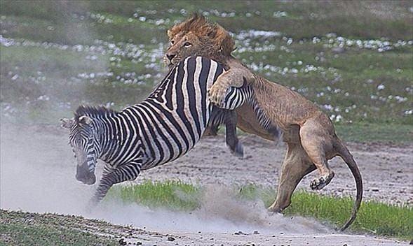 Aslanların en başarısız saldırıları 55