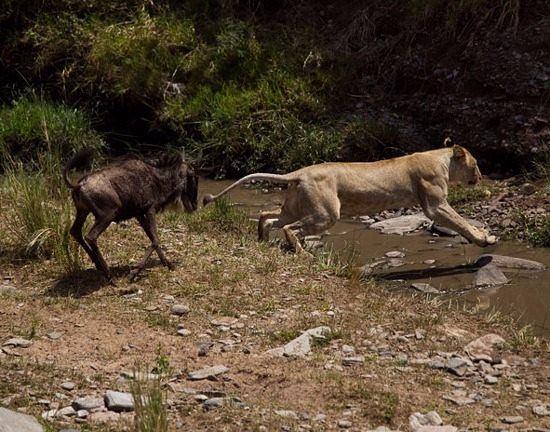 Aslanların en başarısız saldırıları 59