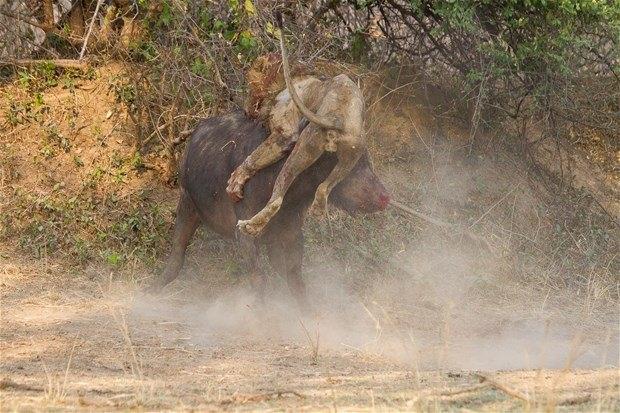 Aslanların en başarısız saldırıları 62