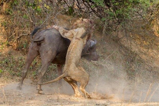 Aslanların en başarısız saldırıları 63