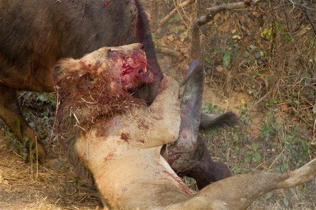 Aslanların en başarısız saldırıları 72