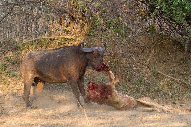 Aslanların en başarısız saldırıları 78