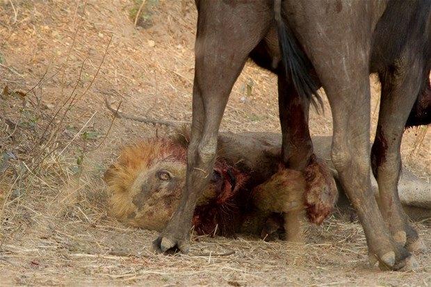 Aslanların en başarısız saldırıları 82
