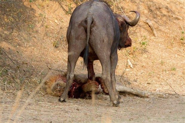 Aslanların en başarısız saldırıları 83