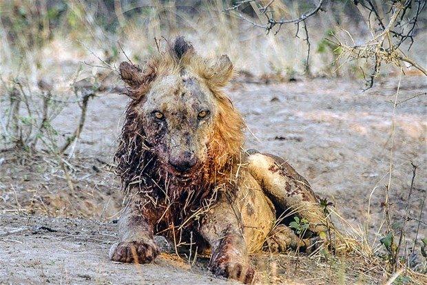 Aslanların en başarısız saldırıları 84