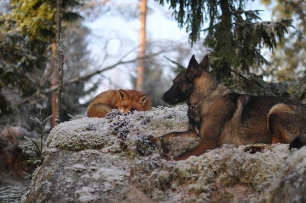 Tilki ile köpeğin şaşırtan dostluğu 1