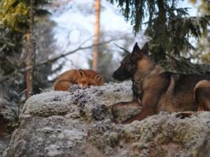 Tilki ile köpeğin şaşırtan dostluğu