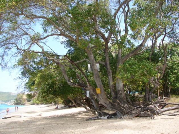Bu ağaca dokunan pişman oluyor! 1