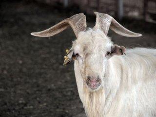 Üniversiteli keçilere yoğun talep