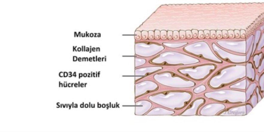 İnsan vücudunda yeni bir organ keşfedildi