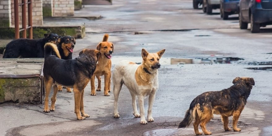 Başıboş köpeklerin öldürdüğü İranlı için Belediye'ye tazminat
