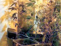 Öğretmenlerin evinde uyuşturucu bitki serası