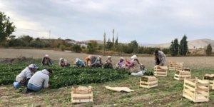 İstanbul'u zehirleyen ıspanaklar bu tarlalardan çıktı!